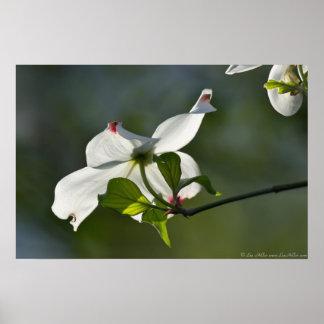 Poster Affiche de fleur d'arbre de cornouiller de la