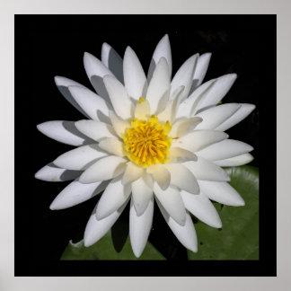 Poster Affiche de fleur de Lotus blanc