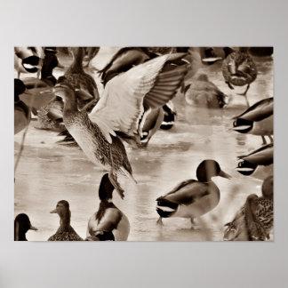 Poster Affiche de Mallard de canard de vol dans la sépia