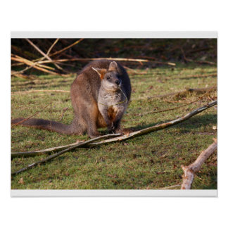 Poster Affiche de wallaby de marais (Wallabia bicolore)