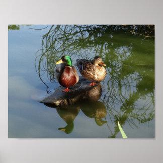 Poster Affiche des canards #2 de Mallard