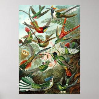 Poster Affiche des colibris de Haeckel