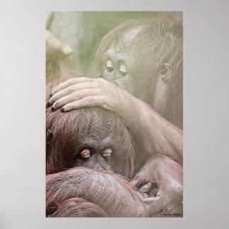 Poster Affiche d'orangs-outans