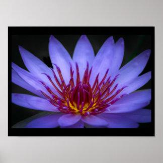 Poster Affiche pourpre de fleur de Lotus