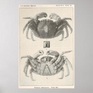 Poster Anatomie vintage Photograph (1918) de crabe