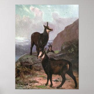 Poster Animaux sauvages vintages, chamois par le cygne de