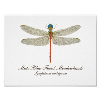 Poster Art Bleu-Fait face de libellule de Meadowhawk