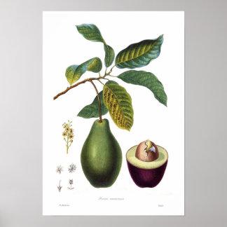 Poster Avocat (Persea americana)