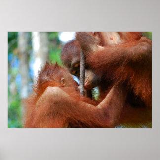 Poster Baiser de faune d'orang-outan
