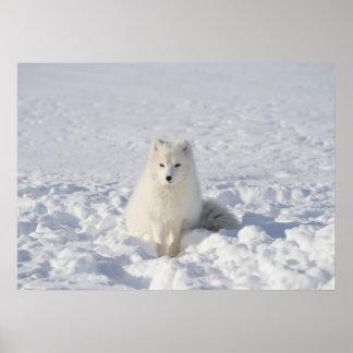 Poster Blanc-renard