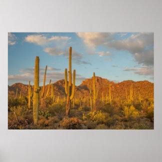 Poster Cactus de Saguaro au coucher du soleil, Arizona