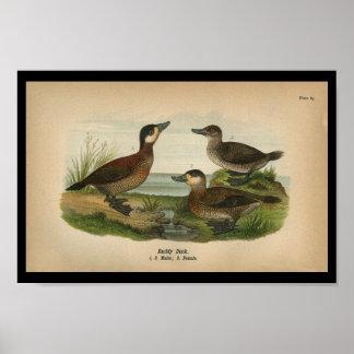 Poster Canard 1890 vermeil d'impression d'oiseau de cru