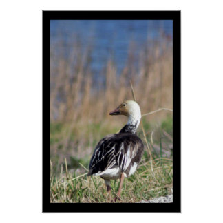 Poster Canard marchant loin