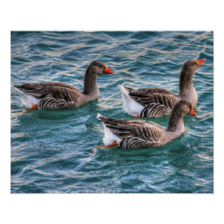 Poster Canards