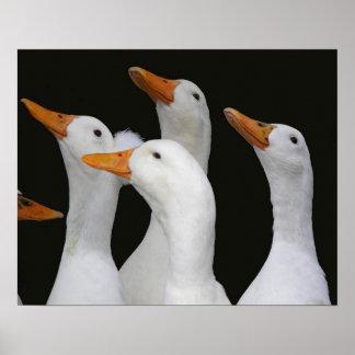 Poster Canards blancs