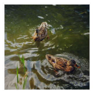 Poster canards sauvages