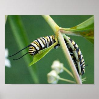 Poster Chenille de monarque sur le milkweed