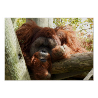 Poster Collection animale - orang-outan rouge