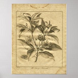 Poster Copie 1817 de fines herbes d'Anniseed Culpeper