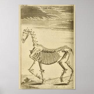 Poster Copie squelettique d'art d'anatomie de cheval