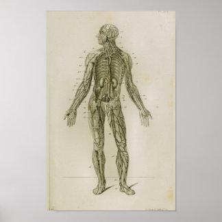 Poster Copie vintage d'anatomie de veines de vaisseaux