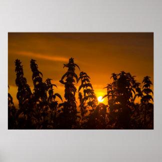 Poster coucher du soleil par les orties sauvages