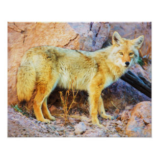 Poster Coyote de Yellowstone