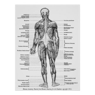 Poster Cru - muscles humains d'anatomie