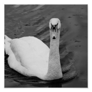 Poster Cygne curieux