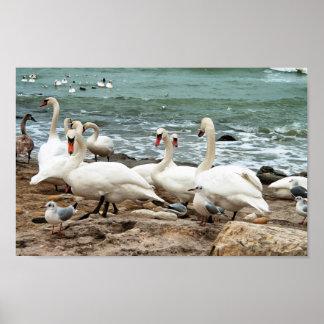 Poster Cygnes sur la plage