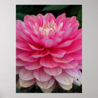 Poster Dahlia rose