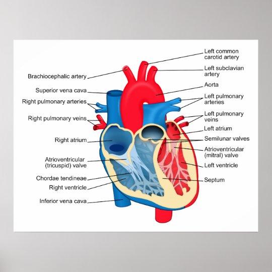 Poster Diagramme Des Differentes Parties Du Coeur Humain Zazzle Be