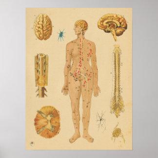 Poster Diagramme médical d'anatomie humaine vintage de