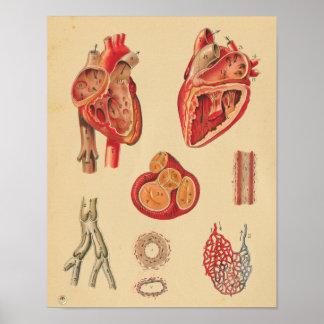 Poster Diagramme médical de coeur d'anatomie humaine