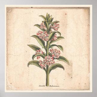 Poster Double botanique antique Balsamina d'affiche
