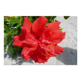 Poster Double fleur rouge de ketmie