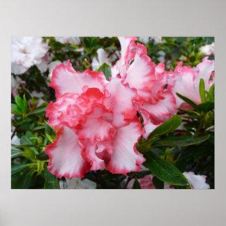 Poster Double ressort rouge et blanc d'azalées floral