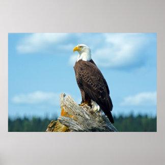 Poster Eagle chauve été perché sur le rondin, Canada