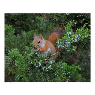 Poster Écureuil rouge