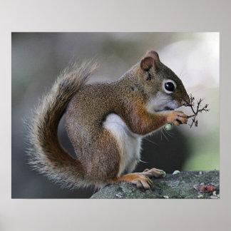 Poster Écureuil rouge américain
