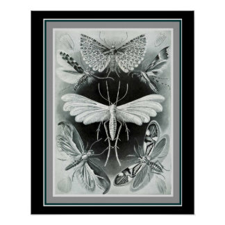 "Poster Ernst Haeckel 16 x 20 copie ""Tineida """
