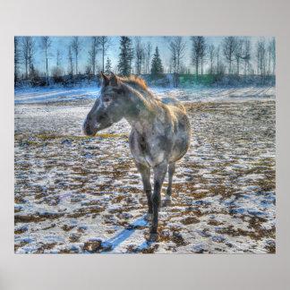 Poster Étalon d'Appaloosa chez le cheval de neige - art