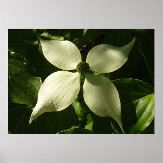 Poster Fleur blanche de ressort de fleur ensoleillée de
