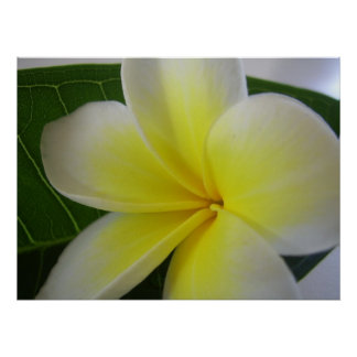 Poster Fleur blanche et jaune de Frangipani