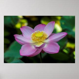 Poster Fleur de lotus de floraison, Indonésie