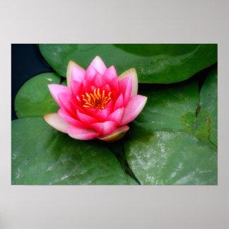 Poster Fleur de Lotus rose