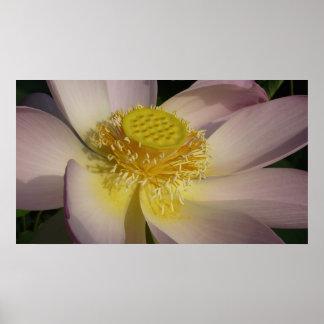 Poster Fleur de Lotus rose I