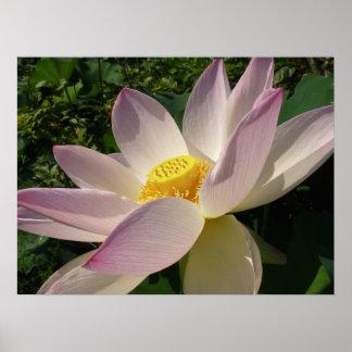 Poster Fleur de Lotus rose III