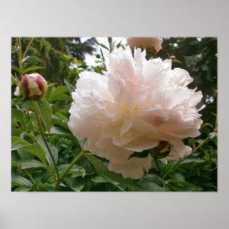 Poster Fleur rose de pivoine