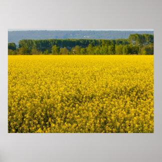 Poster fleurs jaunes de graine de colza illuminées par